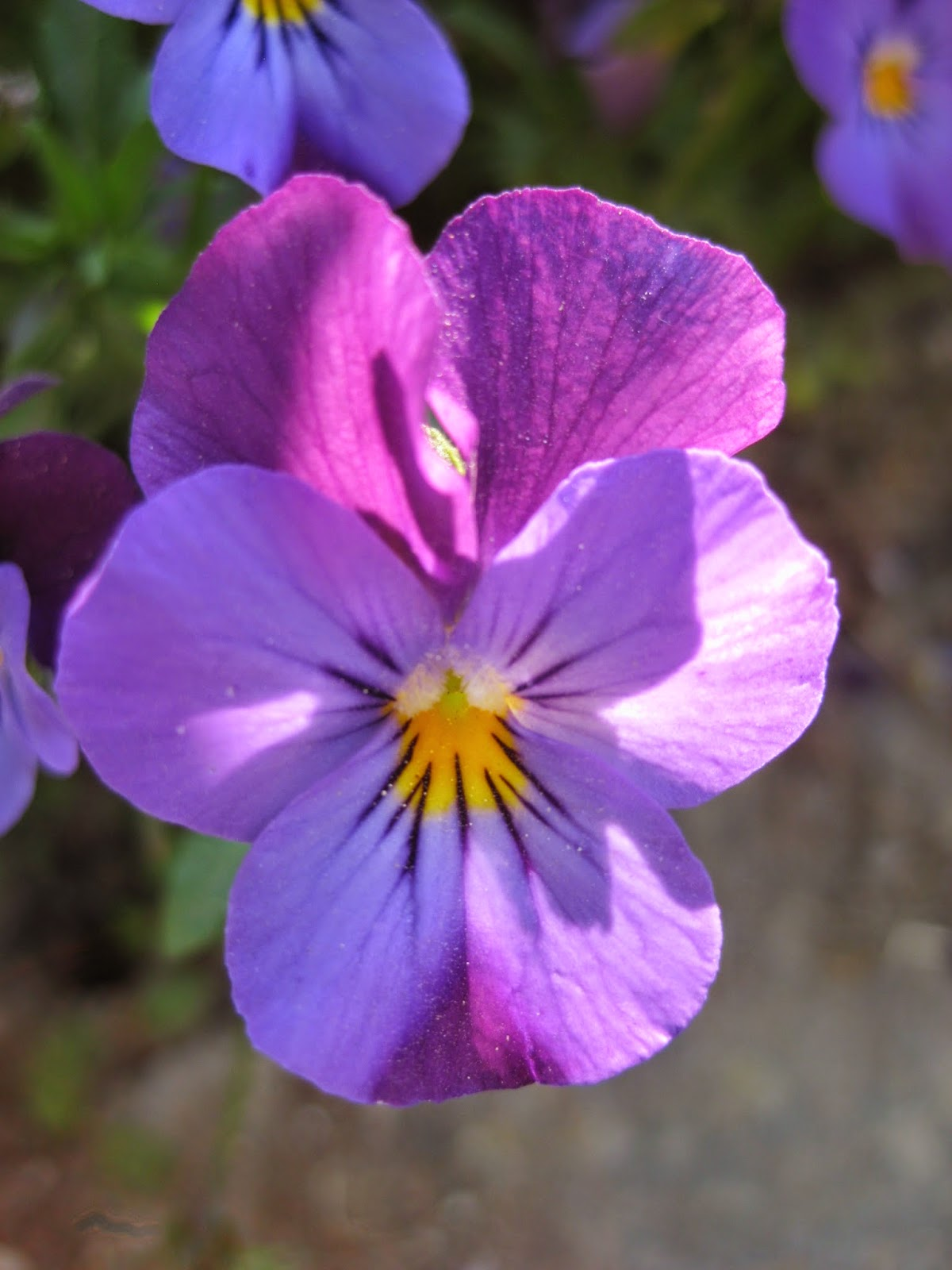 Pansy from Geneva by Madder Hatter