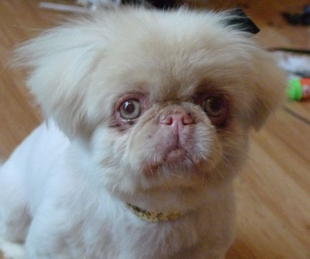 16. Frenchie - Albino pekingese by DM