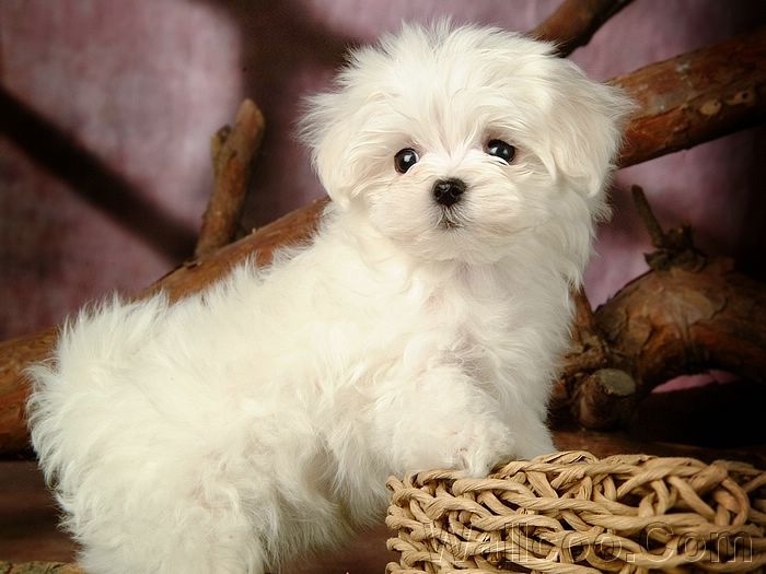 Latest Wallpapers: cute white puppies Cute White Dog Wallpaper