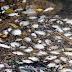 Ratusan Ikan mati Di Muara Sungai Melaka