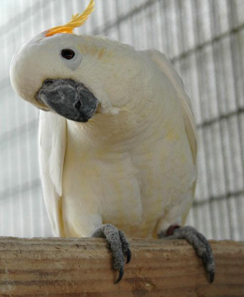 Yellow Umbrella Cockatoo