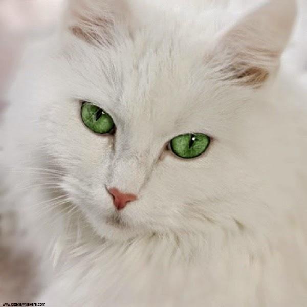 Jolie Photo chat blanc au yeux vert