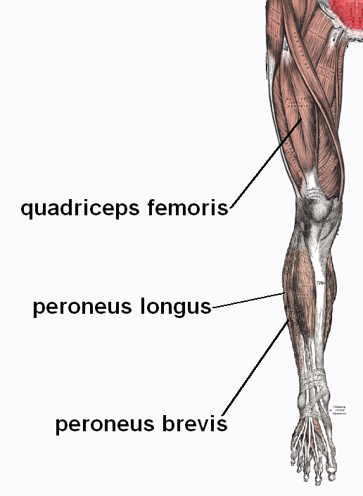 Quadriceps  quadriceps femoris   front of thigh Quadriceps Femoris