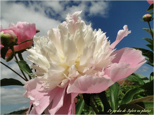 Pivoine à fleur de papier crépon