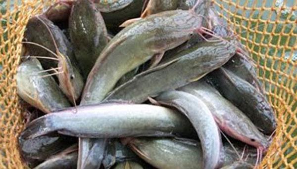 Panduan Budidaya Ikan Lele ~ Peternakan Perikanan