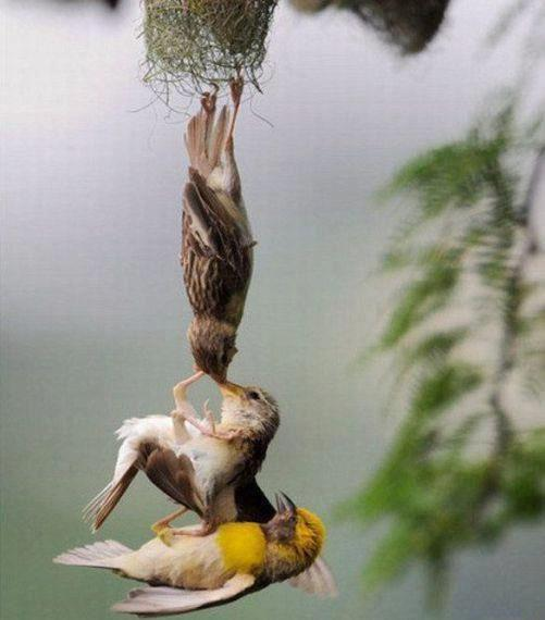funny Picture of sparow parent love with there son | Funny Picture Of the Day 14-05-2012 | Totally Cool Pix | Big Picture | Wallpaper | funny animal | sparow wallpaper | National Geographic | parent love | Baby wallpaper | Love wallpaper | lover | cute wallpaper | best mother day picture | sparow love