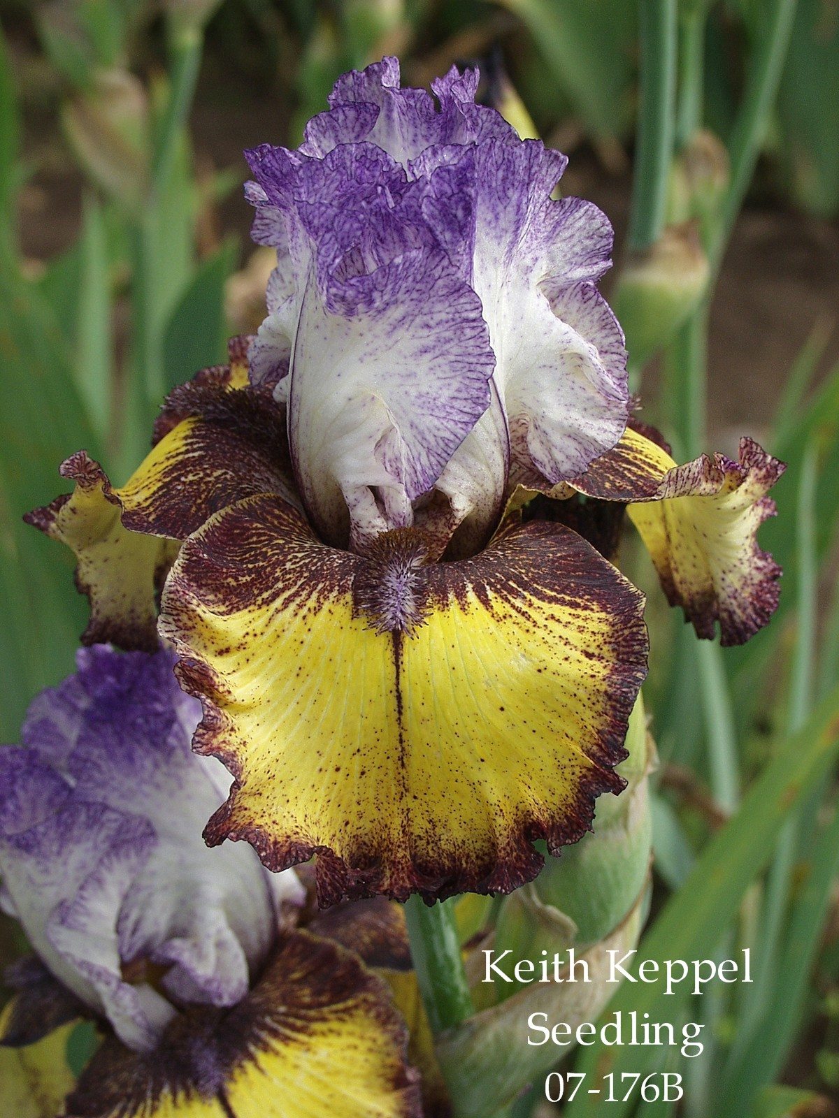 Jean Stevens And Keith Keppel On Breeding Bearded Irises Heritage