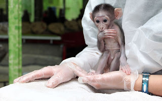 a baby crown male Mangabey monkey