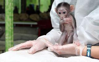 a baby crown male Mangabey monkey