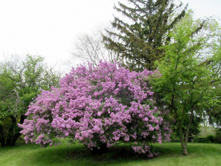 James Macfarlane Lilac Lilacs are in full bloom allJames Macfarlane Lilac