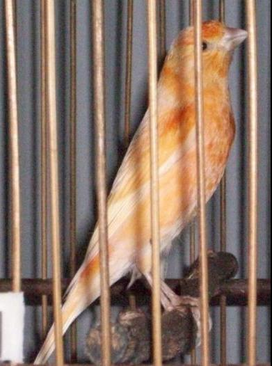 tips mengatasi burung kenari yang susah rontok bulu