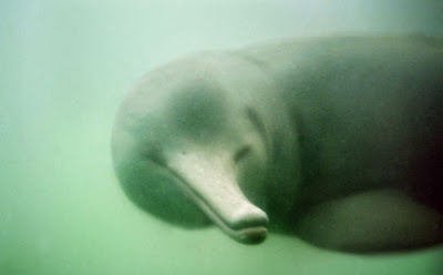 amazing-extinct-animals-resurrected-by-cloning-baiji-river-dolphin