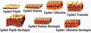 Pengertian, Fungsi, Jenis, Ciri-Ciri Jaringan Epitel