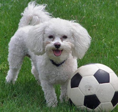 Bichon Frisé | The Life of Animals