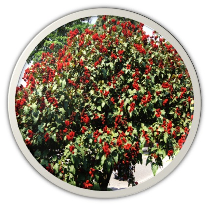 Bixaceae - Oakparks