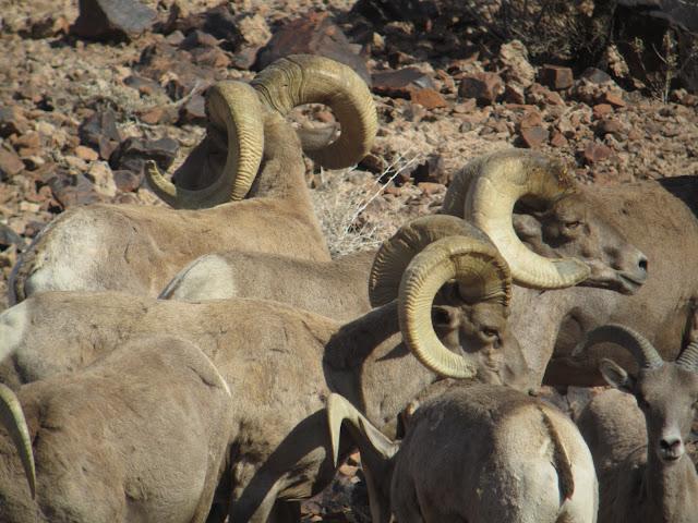 AZ+Desert+Bighorn+Sheep+Scouting+Pics+by+Colburn+and+Scott+Outfitters+16.JPG