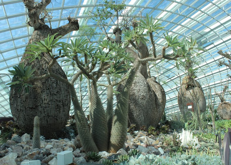 The baobab trees inside The Flower Dome, replicates the cool-dry climate of the Mediterranean and sub-tropical regions like South Africa and parts of Europe.