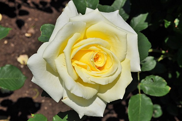 Elina rose сорт розы фото