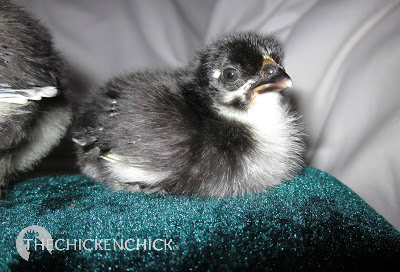 Black Copper Marans chick