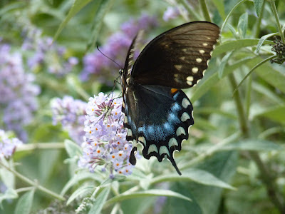 black female tiger swallowtail