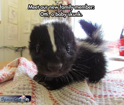 funny cute skunk picture