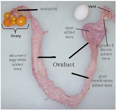 An overview of a hen's reproductive system is important in order to know where an egg may be stuck.