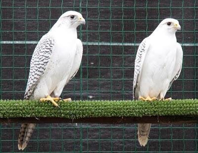 halcones gerifaltes, macho y hembra