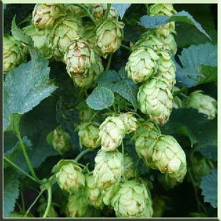 Avrupa, Asya  Amerika yetişen bira fm    efes    efes bira    bira oyunu    bira fiyatları    bira mayası    bomonti bira    bira içmek    bomonti    bira oyunları          bira fiyatları    bira fiyatı    bira fm    bira içmek    bira kalori    bira mayası    bira oyunları bira yapımında kullanılan bira ne ile yapılır