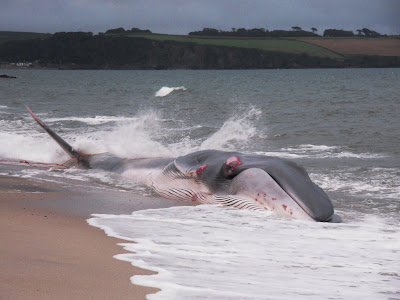 Fin whale on Cornwall beach Carlyon Bay