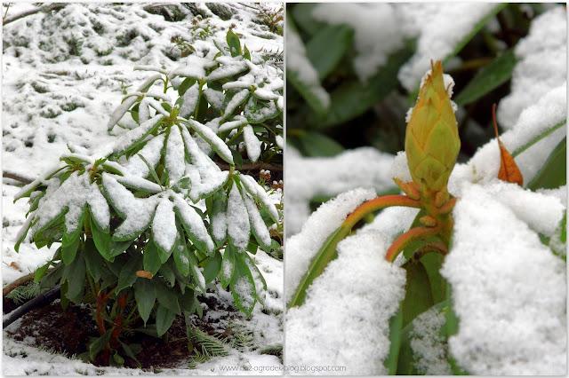 Różaneczniki zimą