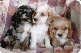American Cocker Spaniel Puppies Picture