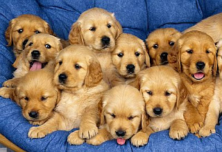 Perros Golden Retriever, parte 1