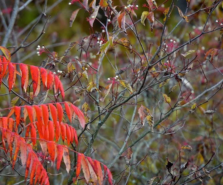 Gray Dogwood is distinguished by the gray bark that appears on older branches. The bright red shows on newer stems and the fruit pedicels.