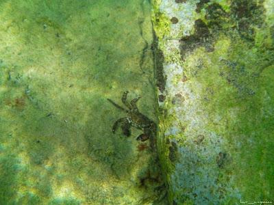 Marea Neagra Black Sea underwater images poze subacvatice CRABUL DE IARBĂ (Carcinus mediterraneus) Decapoda Portunidae