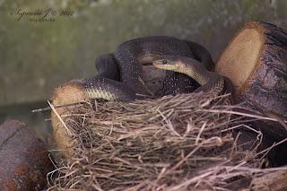 Erdei sikló | Aesculapian Snake | Äskulapnatter (Zamenis longissimus)
