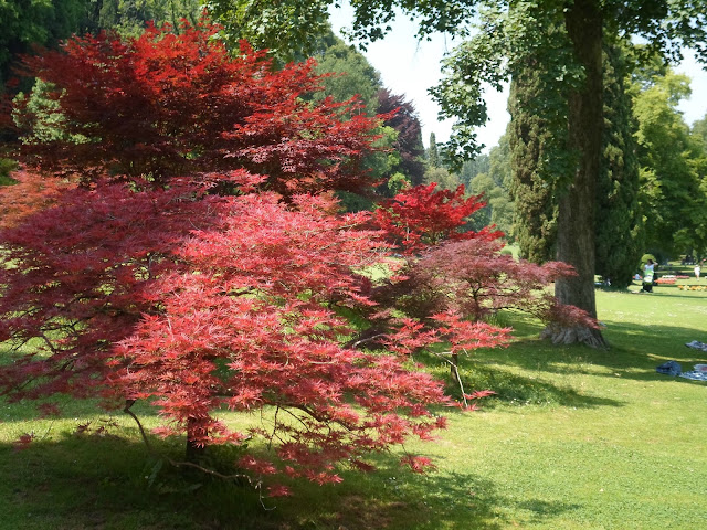 Red leafed tree