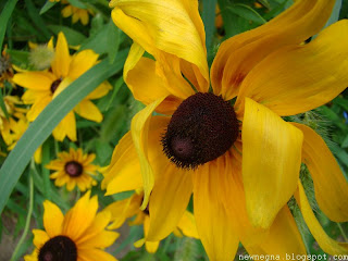 루드베키아 ( Rudbeckia,cone flower)