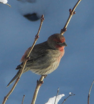 Little house finch holding on to two stems during winter storm.