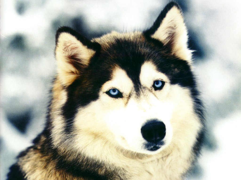He Siberian Husky Often Called The Sibe Is A Member Of Working Breed Category They Feature Thick Black Grey Or Red And White Coat With Face