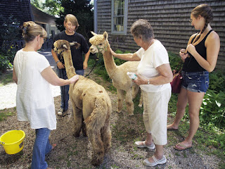 Alpacas Surprise Visit  The alpacas handler Ashleigh Plante (second from left) chats with museum employees and other guests, answering questions. Peggy Cunningham (left), manager of Under the Sun came across the street to see the animals. She pets Silver Angel while museum docent Connie Martyna pets Angelina and museum intern Jenna Bachrach looks on.