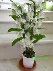 Clicca l'immagine per Coltivare Dendrobium