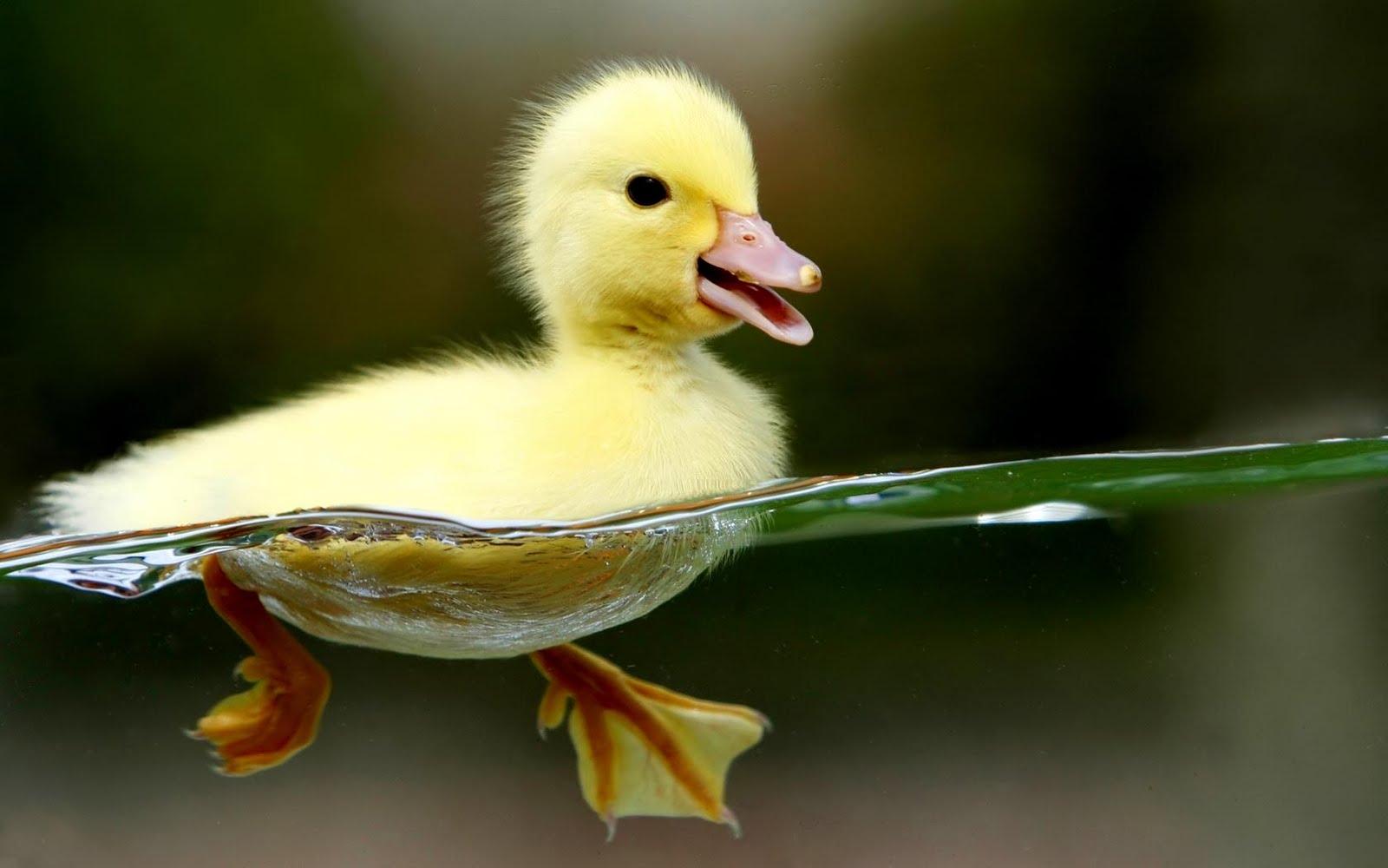 http://3.bp.blogspot.com/-VJI3QNgEJYM/TVlt_fv6oiI/AAAAAAAAAMU/ev8LEwDAXGg/s1600/Duckling_hd_wallpaper.jpg