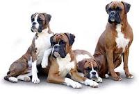 il Cane Boxer