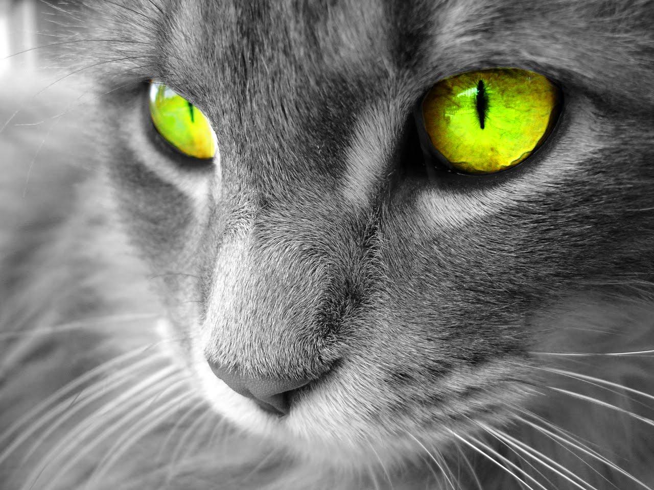http://3.bp.blogspot.com/-VJUGTs3ROYM/T4LC_JH_2KI/AAAAAAAABn8/kCNvkw7agvs/s1600/gato+ojos+verdes+wallpaper+animales.jpg