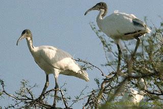 Birds of Sundarban (Sajnekhali Pakiralaya), Sundarban