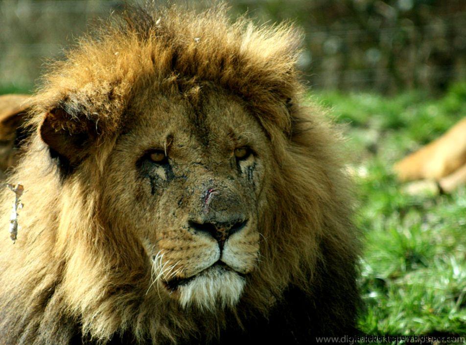 Hd Male Lion Wallpaper | Wallpapers Gallery