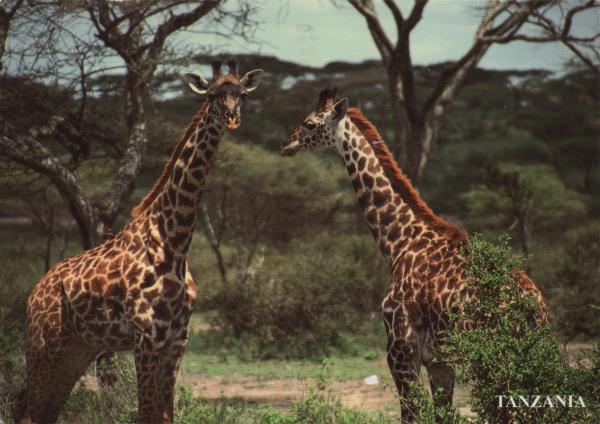 two giraffes by trees near Lake Ndutu