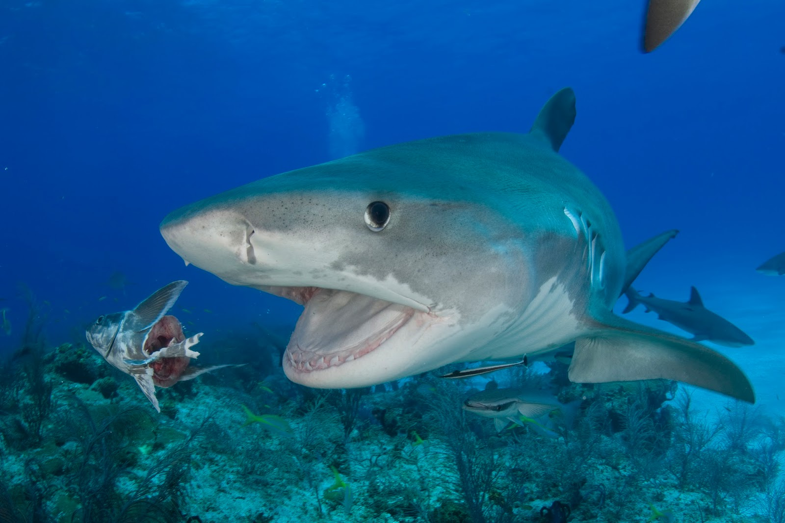 Tiger sharks eating fish for Are sharks fish