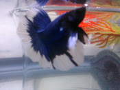 blue n white butterfly halfmoon