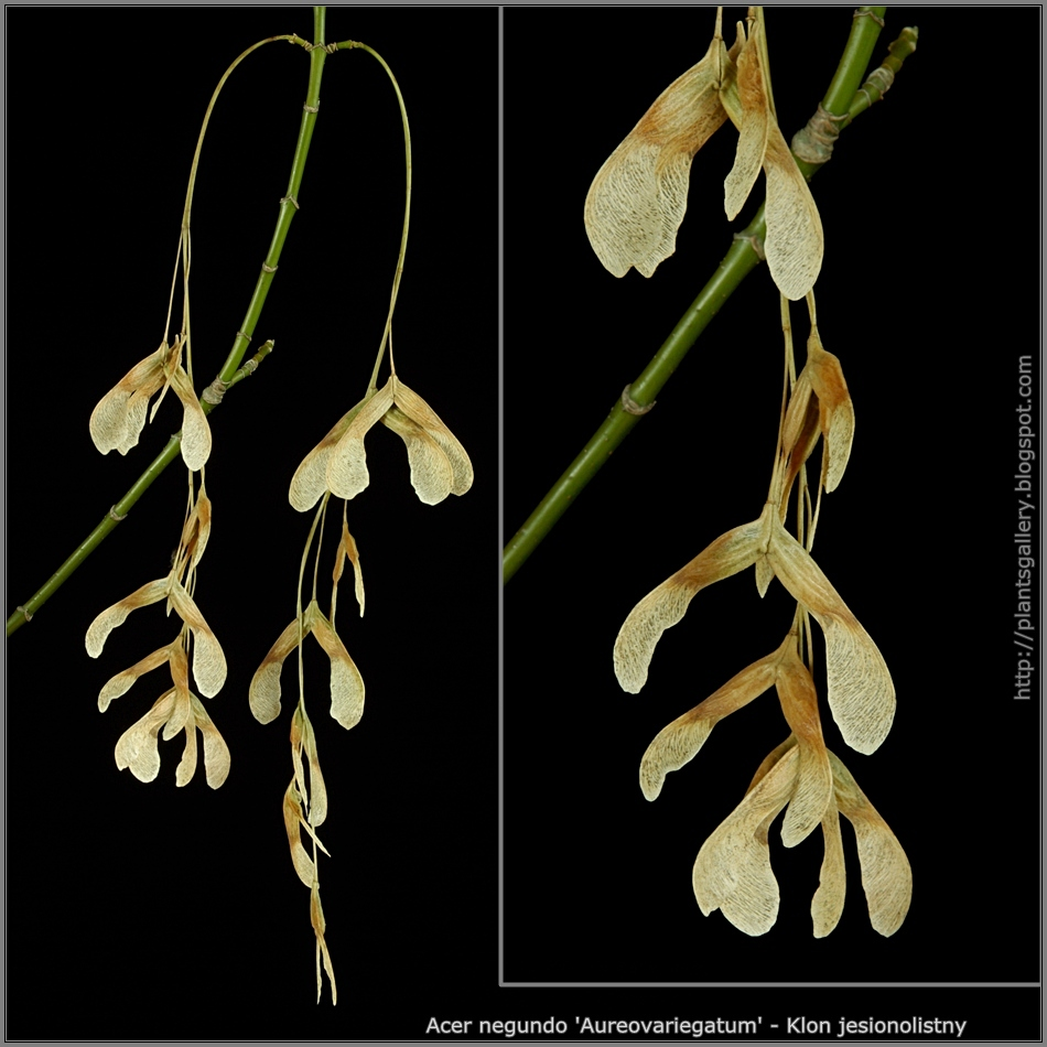 Acer negundo 'Aureovariegatum' seeds - Klon jesionolistny nsiona